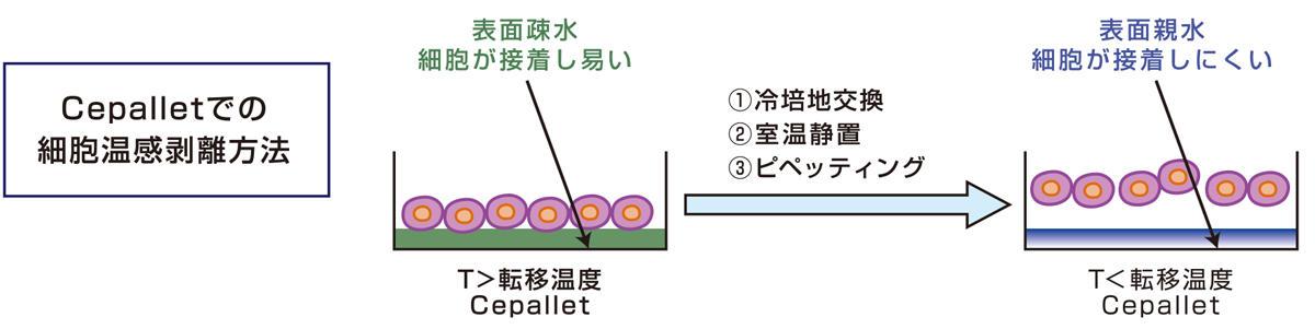 温度制御で細胞を簡単に回収・剥離