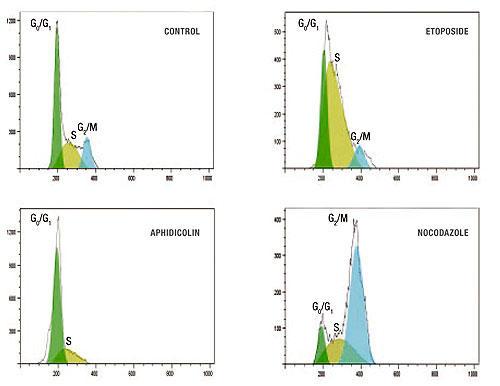 生細胞を薬剤(Etoposide、Aphidicolin またはNocodazole)で処理して各期における細胞周期進行を解析した。