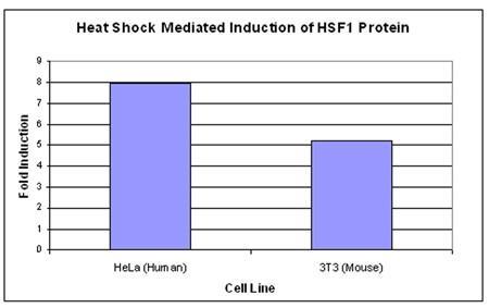 HSF1 の誘導