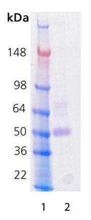 SDS-PAGE解析(CBB染色)