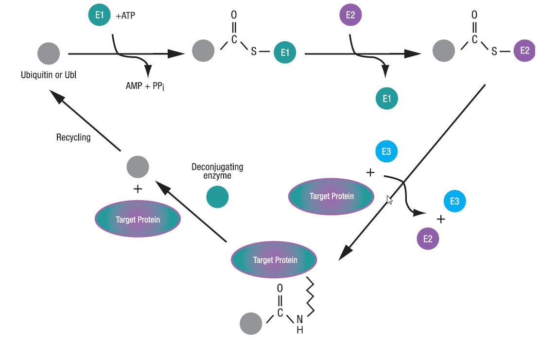 ユビキチン、UBLシグナリング研究用ツール