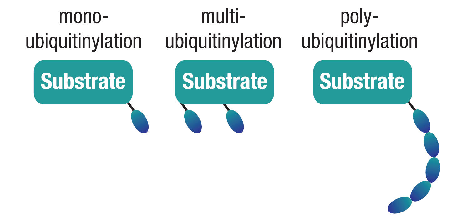 ユビキチン修飾の種類