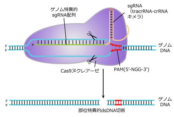 CRISPR-Cas9 によるゲノム編集概要