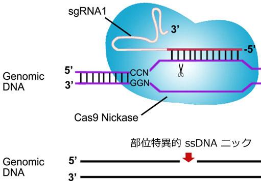 結合した側鎖に位置本鎖切断を生ずるCas9ニッカーゼの模式図