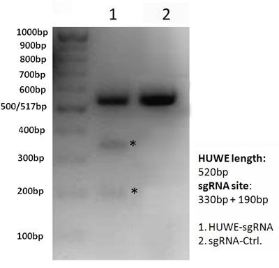 HEK293T細胞を用いたHUWE I-sgRNA/Cas9によるHUWE I 遺伝子標的