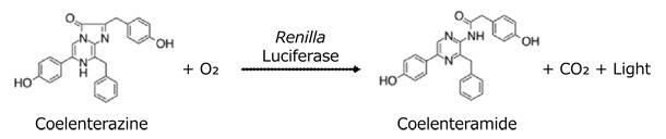 ウミシイタケルシフェラーゼの触媒反応
