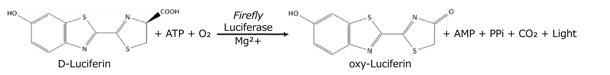 ホタルルシフェラーゼの触媒反応