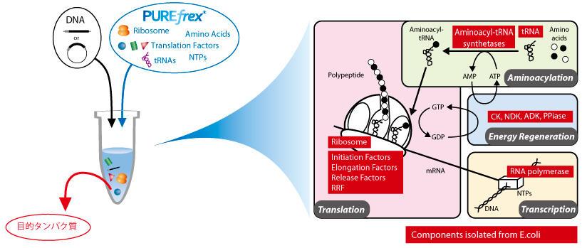 PUREfrex® 再構成型無細胞タンパ...
