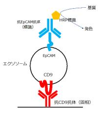 EpCAM陽性エクソソームを直接定量的に検出