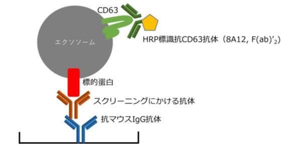 HAK_membrane_antibody_02.jpg