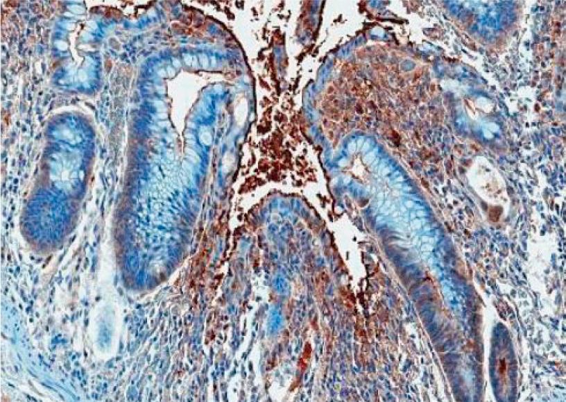WN1222-5抗体(品番:HM1066)を用いたパラフィン包埋アカゲザル結腸組織中のコア多糖の免疫組織染色
