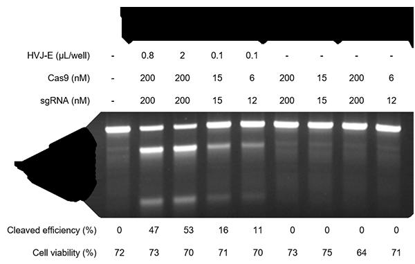 Cas9タンパク質及びgRNAの導入