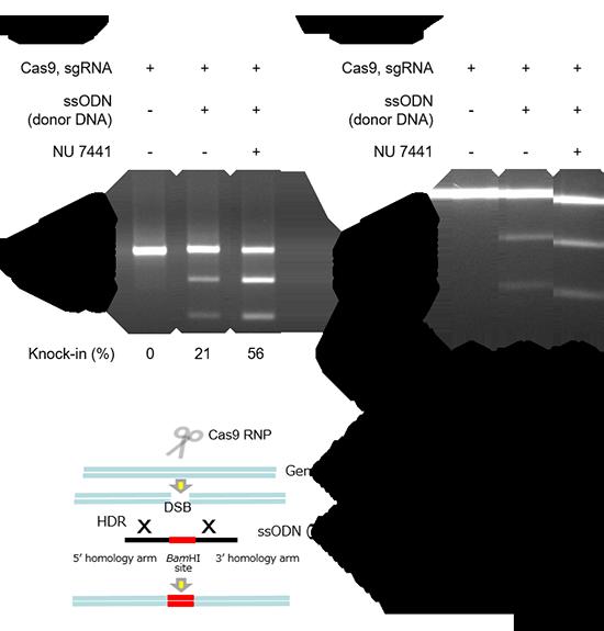 Cas9タンパク質、gRNA、ドナーDNAの導入(ノックイン)