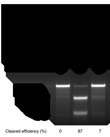 化学修飾したsgRNAによるゲノム編集効率の改善