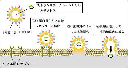 非ウイルス性のトランスフェクションツールGenomONE™-Neo(FD) トランスフェクション試薬