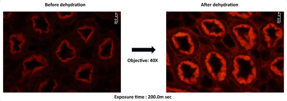 Fluorid-PM の蛍光強度に対する脱水の影響