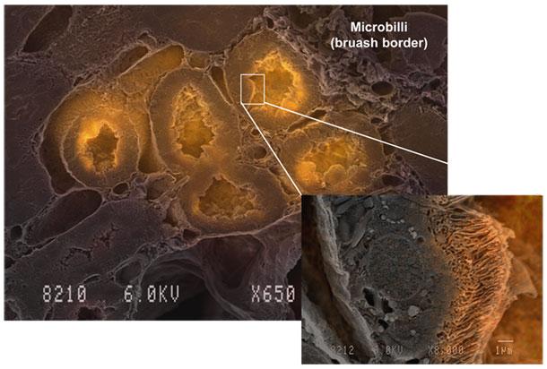 蛍光試薬技術と新規蛍光電子顕微鏡技術との融合