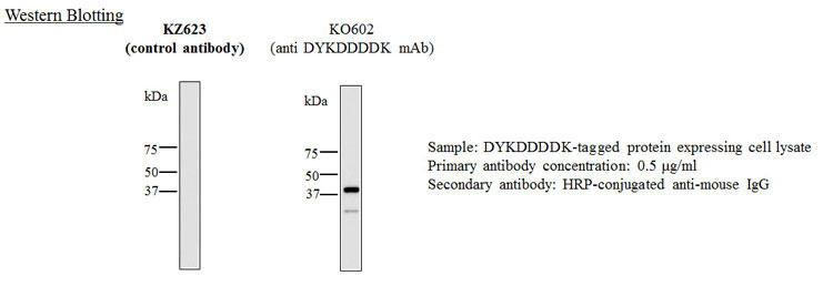 ウェスタンブロッティング:マウスIgG2aアイソタイプコントロール抗体