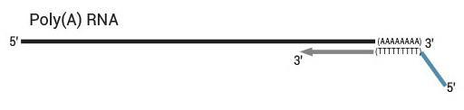 QuantSeq 3' mRNA-Seq Library Prep Kit ワークフロー2