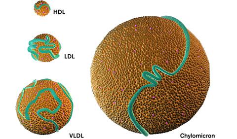 アポリポタンパク質の分布
