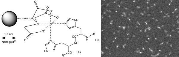 左: 1.8 nm Ni-NTA-Nanogold® と His タグ融合タンパク質との相互作用 右: アデノウイルスで発現させた 6x-His タグ融合 Knob タンパク質。Ni-NTA-Nanogold® で標識後、カラム精製し、走査型透過電子顕微鏡(STEM)で観察した。