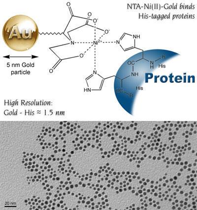 上: 5 nm Ni-NTA-Nanogold® の構造。Ni キレートと His タグ融合タンパク質との結合を示す。金粒子表面と His タグとの距離は推定 1.5 nm。 下: 5 nm Ni-NTA-Nanogold® の透過型電子顕微鏡写真。平均直径 5.11±0.84nm。