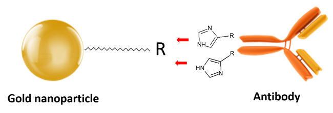 キレート修飾金ナノ粒子と抗体の配向化スキーム
