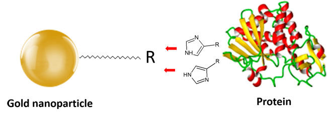 キレート修飾金ナノ粒子とHisタグタンパク質の配向化スキーム