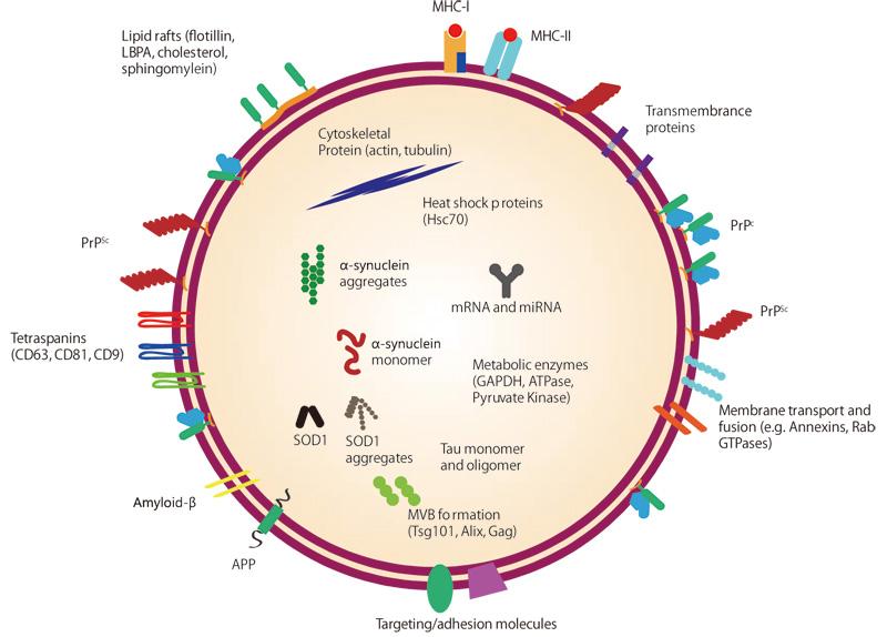 Exosome(エクソソーム・エキソソーム)