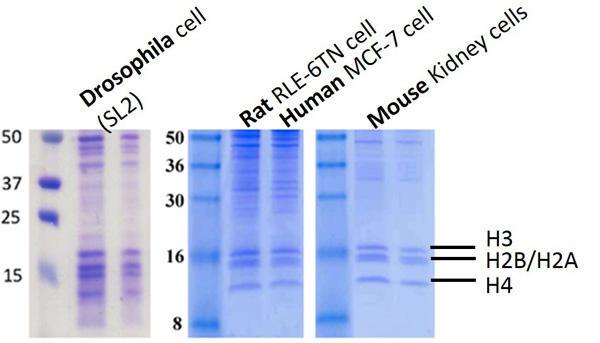 異なる細胞から抽出したヒストンおよびDNA結合タンパク質のSDS-PAGE(18%)解析