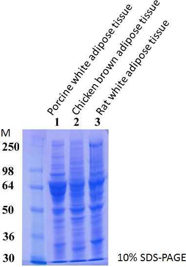 SDS-PAGE(ブタ白色脂肪組織、ニワトリ褐色脂肪組織、ラット白色脂肪組織)