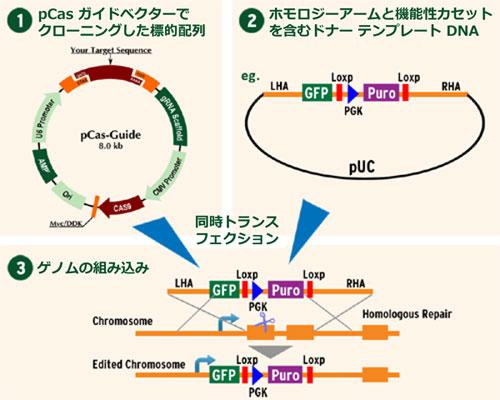 CRISPR を用いたゲノム編集ノックアウトキット