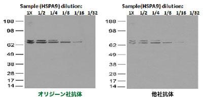 図4. 抗DDK抗体(品番TA50011)は、他社抗体による結果と比べて高感度であった