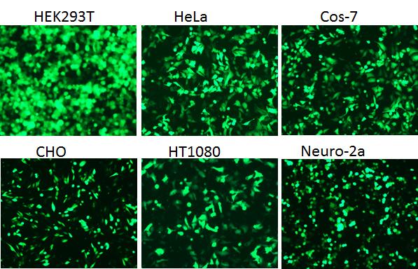pCMV6-AC-GFP(品番:PS100010、1μg)を各細胞に導入