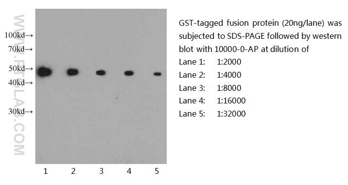 Western blot of GST-tagged fusion protein with anti-GST-tag (10000-0-AP) at various dilutions.