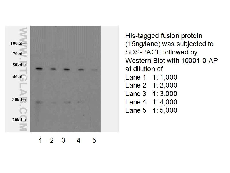 Western blot of 6*His-tagged fusion protein with anti-6*HIS tag (10001-0-AP) at various dilutions.