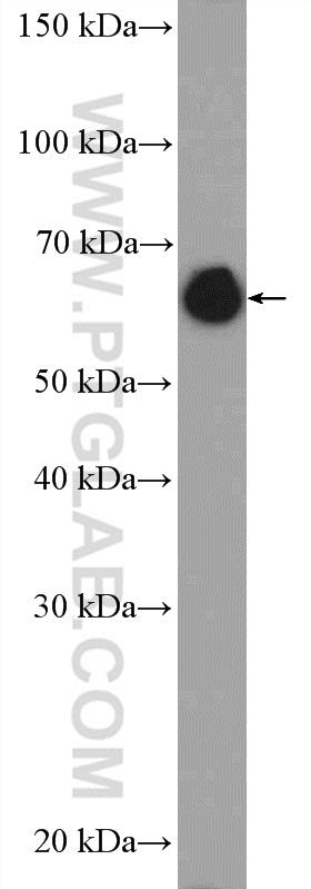 NIH/3T3 cells were subjected to SDS PAGE followed by western blot with 10298-1-AP( Lamin A/C Antibody) at dilution of 1:3000  incubated at room temperature for 1.5 hours