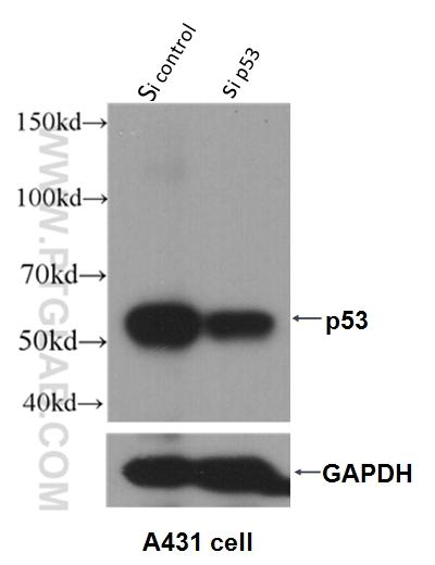 WB result of P53 antibody (10442-1-AP, 1:2000) with si-p53 and si-Control transfected A431 cells.