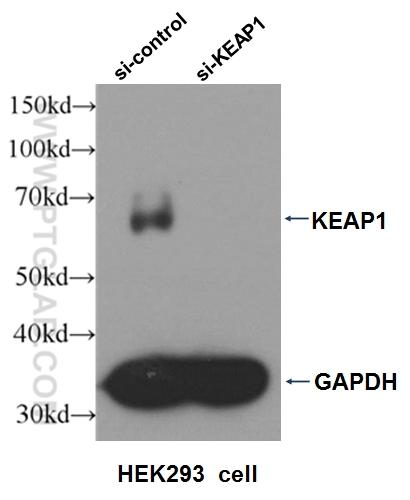 WB result of KEAP1 antibody (10503-2-AP, 1:2000) with si-control and si-KEAP1 transfected HEK293 cell.