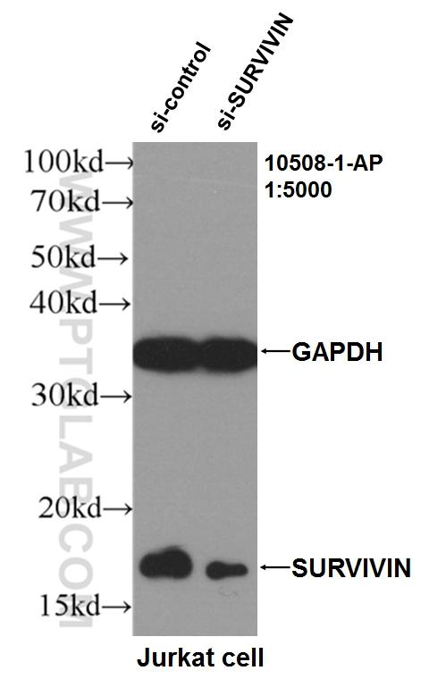 WB result of Survivin antibody (10508-1-AP, 1:5000) with si-control and si-Survivin  transfected Jurkat cells.