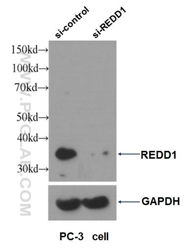 WB result of REDD1 antibody (10638-1-AP, 1:1000) with si-control and si-REDD1 transfected PC-3 cells.