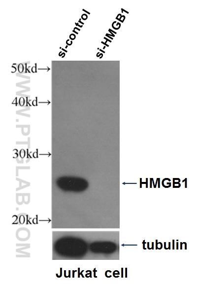 WB result of HMGB1 antibody (10829-1-AP, 1:1500) with si-control and si-HMGB1 transfected Jurkat cells.