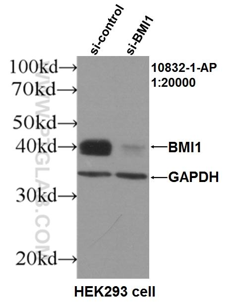 WB results of BMI antibody (10832-1-AP, 1:20000) with si-Control and si-BMI transfected HEK293 cells.