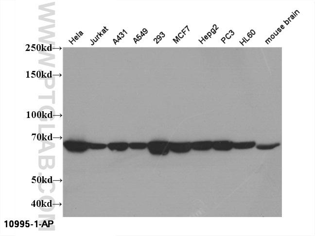 WB result of 10995-1-AP(HSPA1A antibody).