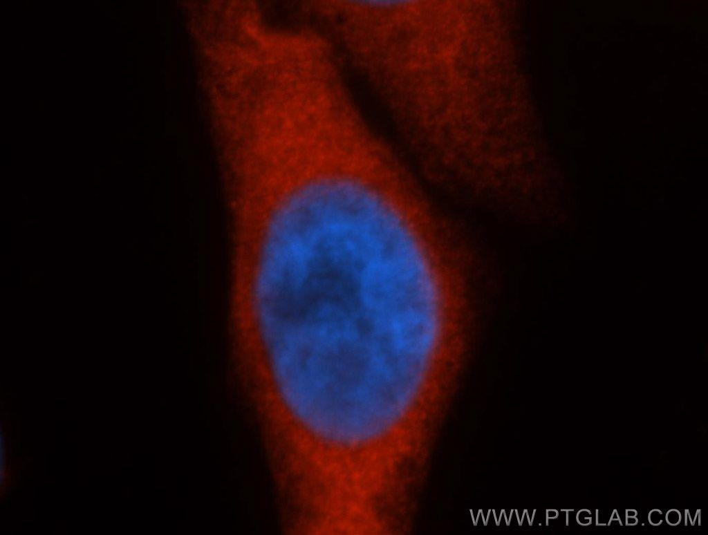 Immunofluorescent analysis of HepG2 cells, using HSPA1A antibody 10995-1-AP at 1:50 dilution and Rhodamine-labeled goat anti-rabbit IgG (red). Blue pseudocolor = DAPI (fluorescent DNA dye).