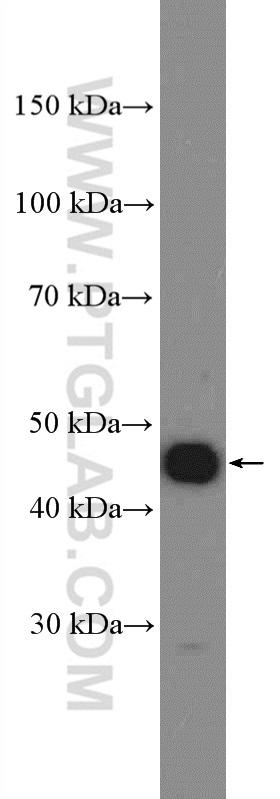 MCF-7 cells were subjected to SDS PAGE followed by western blot with 11554-1-AP( Cyclin E Antibody) at dilution of 1:1000  incubated at room temperature for 1.5 hours