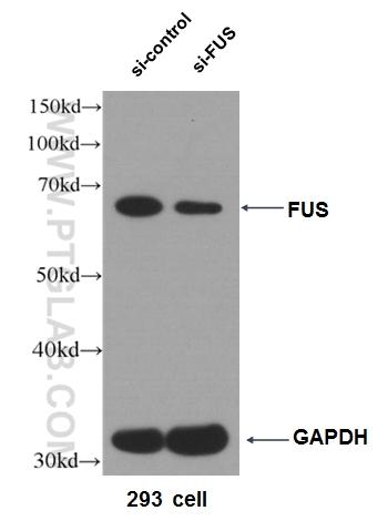 WB result of FUS antibody (11570-1-AP, 1:5000) with si-Control and si-FUS transfected HEK 293 cells.