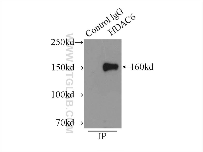 IP Result of anti-HDAC6 (IP:12834-1-AP, 5ug; Detection:12834-1-AP 1:1000) with  K-562 cells lysate 11000ug.