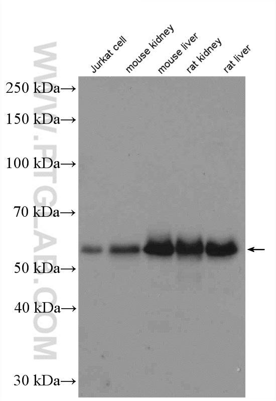Various lysates were subjected to SDS PAGE followed by western blot with 13409-1-AP (Occludin antibody) at dilution of 1:1500  incubated at room temperature for 1.5 hours