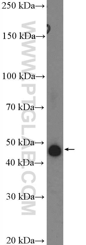 PC-12 cells were subjected to SDS PAGE followed by western blot with 13801-1-AP( SERPINE1 Antibody) at dilution of 1:600  incubated at room temperature for 1.5 hours